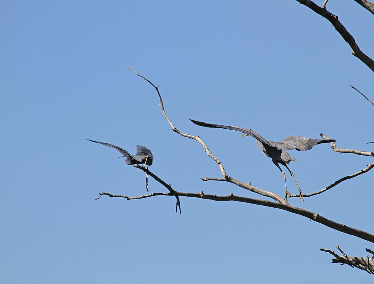 7980----10-17-14 Little Blue Heron & Great Blue Heron take flight