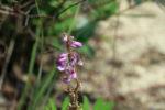 7708---6-2-16 Sundial Lupine Blossoms