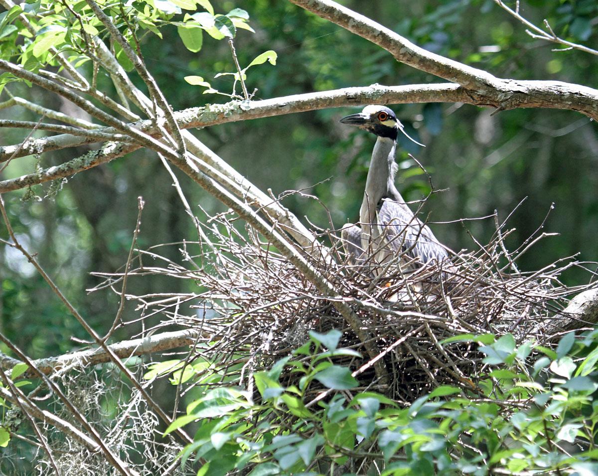 3786---6-6-14 Yellow-crown Night Heron (with chicks)