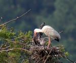 0002 White Ibis Nourishing Chick