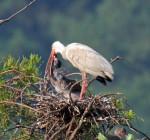 0010 White Ibis Chick Feeding While One Chick Waits His Turn