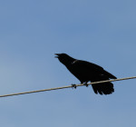 0345 The American Crow