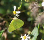 0348 The Clouded Sulphur Butterfly
