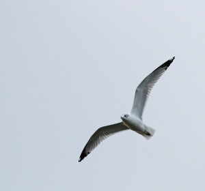 0493---12-30-14 Gull in flight