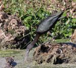 0678 Glossy Ibis Feeding On Duck Weed (3)