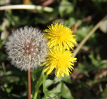 0948 Dandelion Wine Time(2)