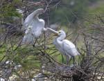 #10-9182 Greater Egret Feeding Baby