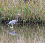 1042----Tricolored Heron