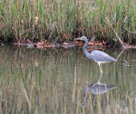 1058---Tricolored heron