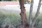 1088---1-7-15 Cedar tree delimbed on small hammock(A)