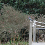 1098---Belted Kingfisher
