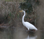1100----Great White Egret(A)