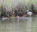 1156---Hooded Mergansers & Tricolored Heron
