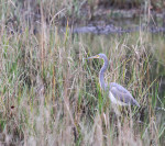 1185---Tricolored Heron in natural habitat