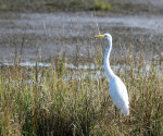 1233 The Majestic Great White Egret