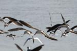 1445---1-22-15 Black Skimmers in flight
