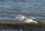 1456 Ring-billed gull in flight