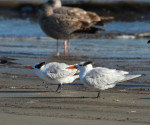 1464 Royal Terns