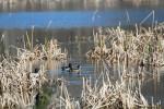 1660---Ring-necked Ducks