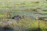 1680---Turtle in the grass