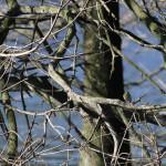 1713---The curious Warbler