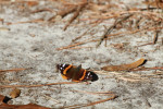 1726---2-1-15 The Red Admiral Butterfly(Vanessa atalanta)
