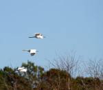 1781---Egrets in flight