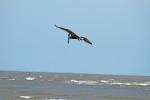 1811--- Pelican over Gould's Inlet