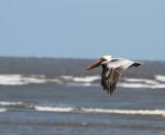 1823 Pelican over Gould's Inlet