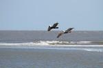 1842---Pelican Duo