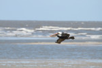 1854 Pelican over Gould's Inlet