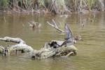 1866---2-10-5 Female Merganser takes flight