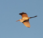 1895---- Great Egret going in to roost (late afternoon)
