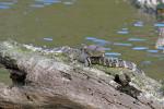 2074 Gators Sunning on a log