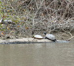 2077---2-22-15 Turtles sunning on a warm February afternoon