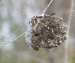 2079---2-22-15 Wasps rebuilding their nest in February