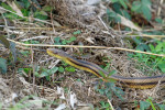 2080 Yellow Bellied Rat Snake