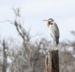 2097---2-22-15 Great Blue Heron (Woods Cut)