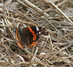 2099 Painted Lady Butterfly