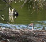 2106 White Ibis Peeping over the embankment