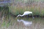 2193---2-28-15 Great Egret Strikes