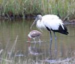 2211---2-28-15 Wood Stork & the Ibis