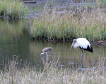 2216---2-28-15 Wood Stork and the Ibis