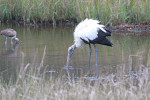 2222---2-28-15 Wood Stork Foraging