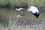 2232---2-28-15 Wood Stork