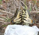 2455---Face to Face (Eastern Tiger Swallowtails)