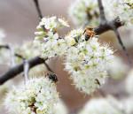2489 Wild Plum Blooms with pollinators
