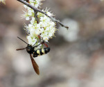 2501 Wild Plum Blossoms with Pollinator