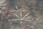 2553---Submerged Floating Bladderwort
