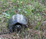 2576---Eastern Snapping Turtle